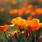 a beautiful poppy flower garden