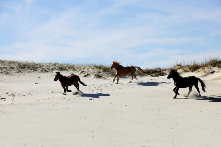 wild horses on beach in outer banks