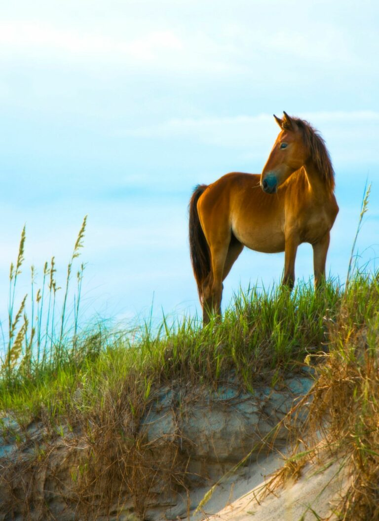 Wild horse on the beach of the Outer Banks NC